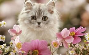 Обои цветы, космея, котенок, пушистый