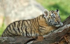 Обои взгляд, природа, животное, хищник, коряга, детёныш, тигрёнок