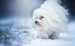 Картинка снег, собака, Гаванский бишон, лохматая
