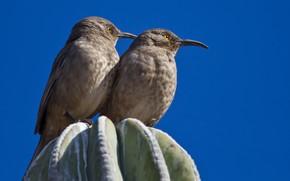 Картинка птица, клюв, пара, пятнистый кривоклювый пересмешник