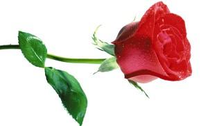 Картинка капли, роза, стебель
