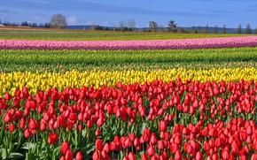 Обои тюльпаны, tulips, весна, colored, fields, поле