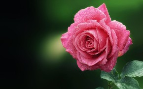 Обои бутон, лепестки, роза, кали воды