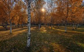 Обои осень, берёзы, парк