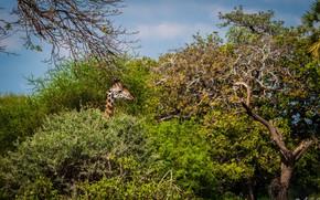 Картинка заросли, голова, жираф, профиль, Африка