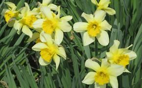 Картинка цветы, жёлтые, нарциссы, весна 2018, mamala ©