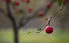 Картинка природа, яблоко, паутина, ветка