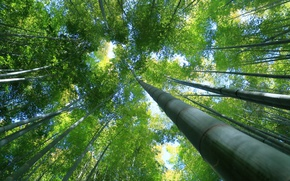 Картинка деревья, зеленый, бамбук