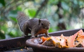 Картинка nature, brown, animal, squirrel, squirrels, malaysia, mammals, Sciuridae