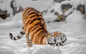 Картинка зима, снег, дикая кошка, тигрица, потягушки