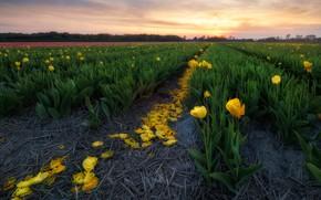 Картинка поле, небо, закат, цветы, желтые, тюльпаны, ряды, плантация