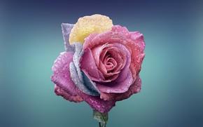 Обои роса, краски, лепестки, роза, капли