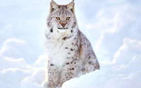 Картинка зима, размытость, рысь, дикая кошка, animals, nature, боке, lynx, travel, wallpaper., my planet, осматривает окружающую …
