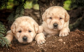 Обои собаки, щенки, малыши, парочка, мордашки, Лабрадор-ретривер