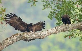 Обои птицы, дерево, ветка, пара, Орёл-яйцеед