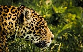 Обои зелень, трава, морда, хищник, ягуар, боке, пятнистый