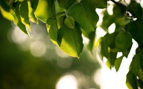 Картинка листья, зеленый, дерево