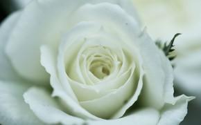 Картинка белый, макро, роза