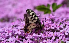 Картинка бабочка, крылья, флоксы