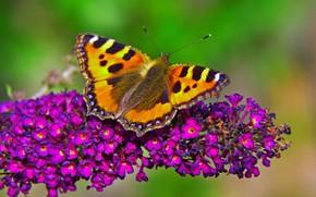 Картинка Макро, Бабочка, Цветочки, Flowers, Macro, Butterfly
