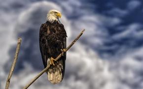 Картинка небо, сидит, на ветке, белоголовый орлан, хищная птица