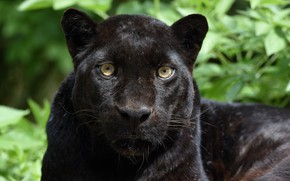 Картинка морда, портрет, хищник, пантера, дикая кошка, чёрный леопард