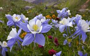 Обои зелень, белый, цветы, природа, сиреневый, весна, лепестки, тычинки, Аквилегия, Водосбор