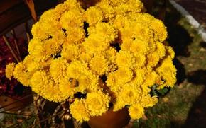 Картинка осень, хризантемы, жёлтые, октябрь 2017, mamala ©