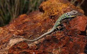 Картинка природа, камень, ящерица, Аризона, США, Петрифайд-Форест