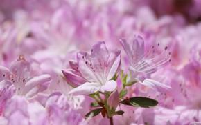Картинка макро, розовый, азалия