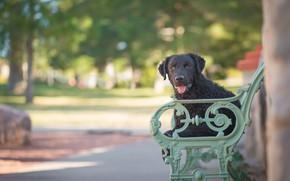 Картинка скамейка, собака, боке, Курчавошёрстный ретривер