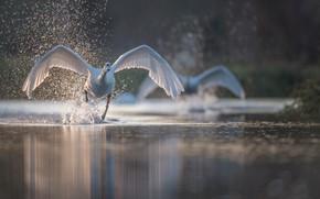 Обои брызги, птица, крылья, лебедь, вода, разбег