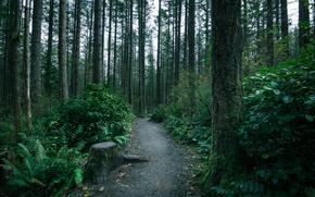 Картинка лес, деревья, мох, тропа, чаща, тропинка