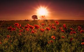 Картинка поле, закат, цветы, маки