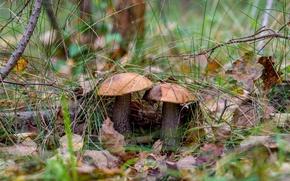 Картинка лес, грибы, подосиновики