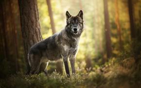 Картинка лес, волк, пёс