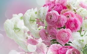 Картинка white, pink, розовые цветы, flowers, beautiful, лютики, ranunculus