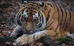 Картинка взгляд, морда, шерсть, Амурский тигр