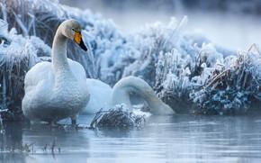 Картинка зима, иней, трава, птицы, пара, лебеди, водоём