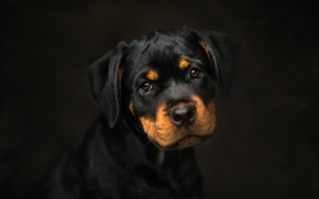 Картинка фон, собака, щенок, ротвейлер, барбос, Frelka