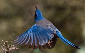 Картинка птица, крылья, хвост, калифорнийская кустарниковая сойка