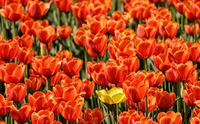 Картинка тюльпаны, бутоны, много, плантация