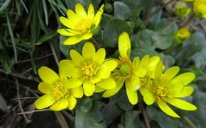 Картинка цветы, жёлтые, весна 2018, Mamala ©