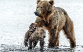 Картинка вода, капли, медведь, медведи, медвежонок, мокрые, медведица