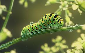 Обои Caterpillar Machaon, Monteillard Damien, гусеница, арт