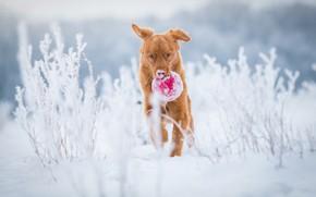 Картинка зима, иней, поле, снег, природа, стебли, игрушка, игра, мяч, собака, рыжий, бег, щенок, прогулка, светлый ...