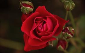Картинка Боке, Bokeh, Red rose, Красная роза