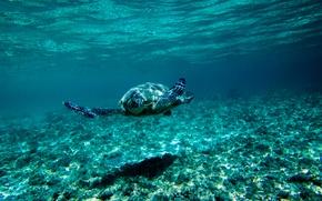 Обои дно, синева, под водой, черепаха, подводный мир, плывёт, море