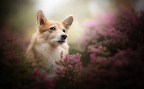 Картинка взгляд, морда, портрет, собака, боке, вереск, Вельш-корги