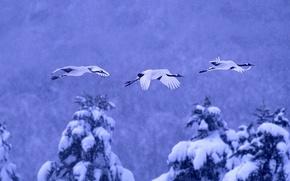 Обои зима, снег, птицы, Япония, Хоккайдо, японский журавль, Национальный парк Акан